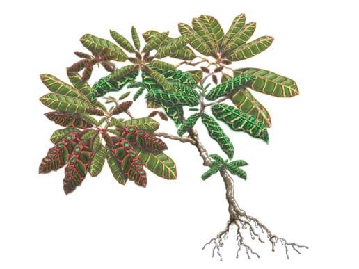 Croton - Terrestrial