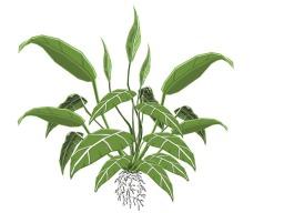 Spathiphyllum - Terrestril