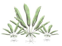 Echinodorus - Aquatic