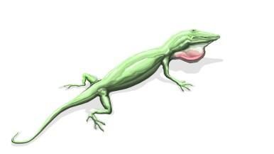 Anole - Lizard